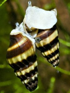 Assassine snail mating
