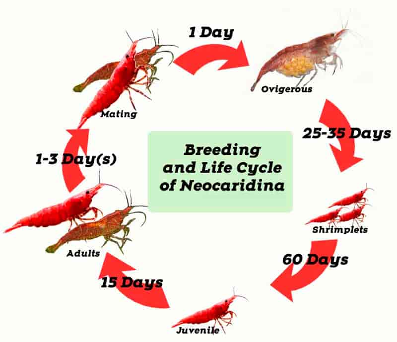 Breeding and Life Cycle of Red Cherry shrimp