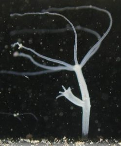 • Hydra oligactis (Brown hydras)