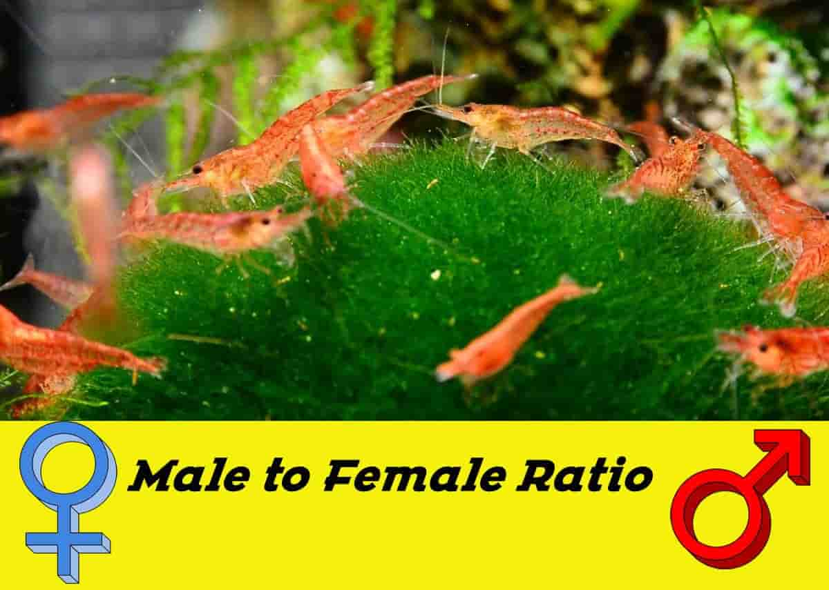 Female to male ratio shrimp tank