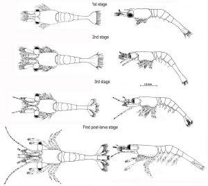 Ghost shrimp larva stage