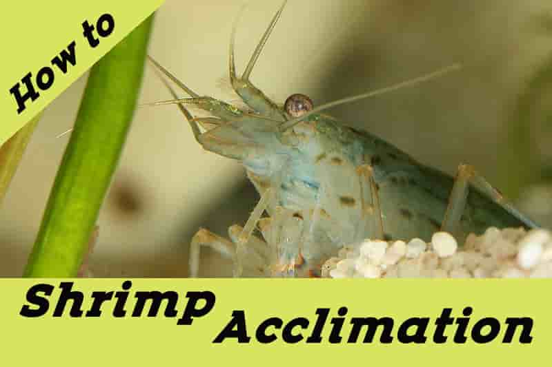 How I Drip Acclimate Shrimp