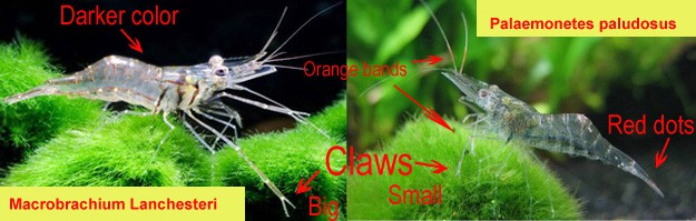 Macrobrachium lanchesteri vs Palaemonetes paludosus