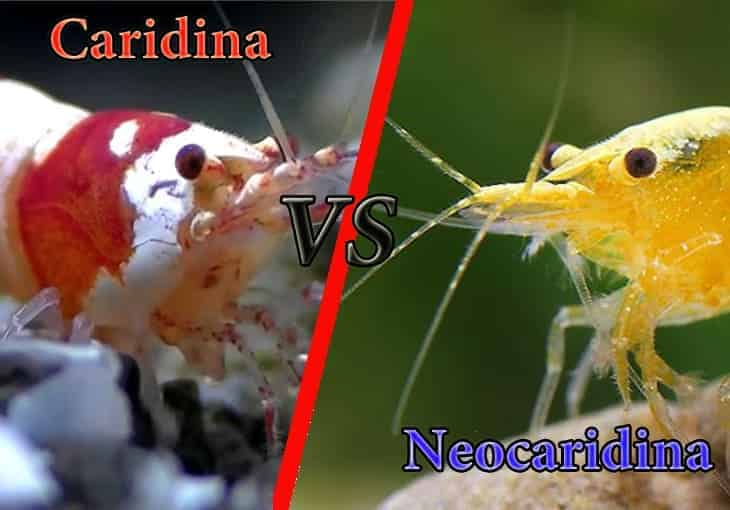 Difference Caridina vs Neocaridina shrimp