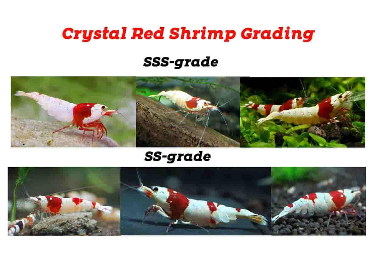 Crystal shrimp Grade list color