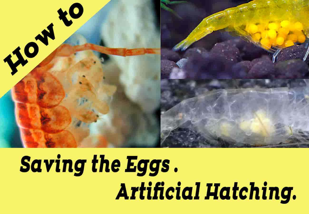 Dwarf shrimp How to save eggs
