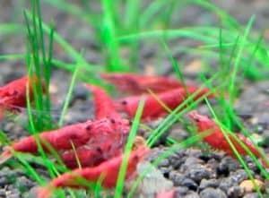 How Density Affects Dwarf Shrimp How Density Affects Dwarf Shrimp