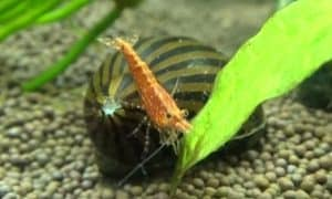 Nerite snail and shrimp