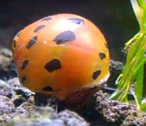 Tiger nerite snail