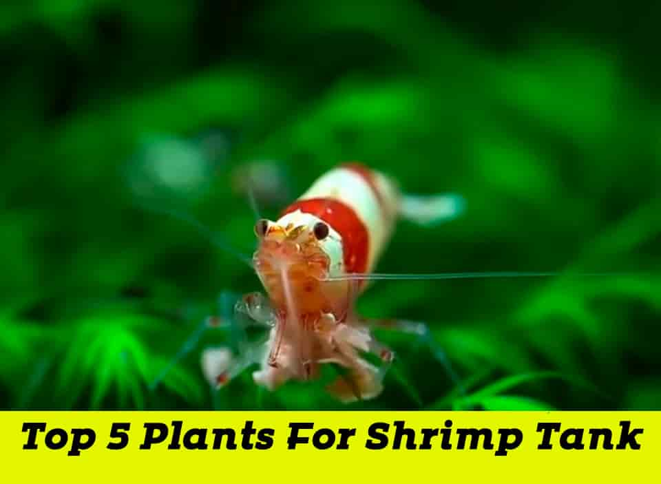 Top 5 Plants for Your Shrimp Tank