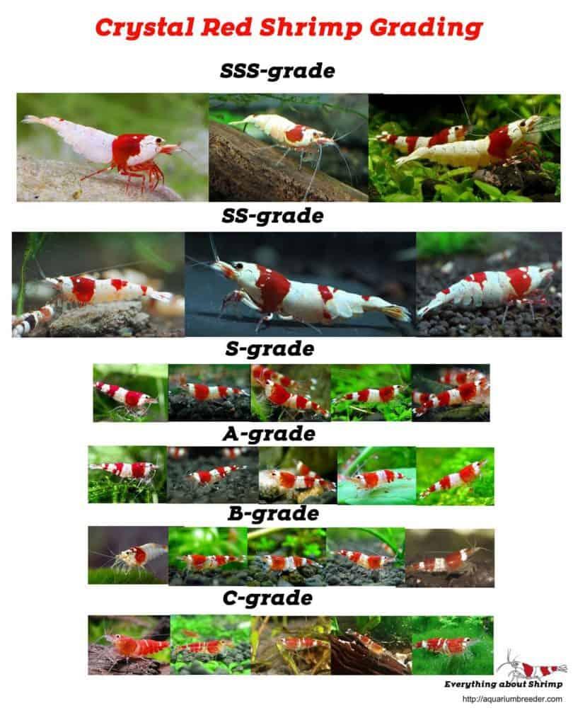 Cyrystal Red shrimp Color list