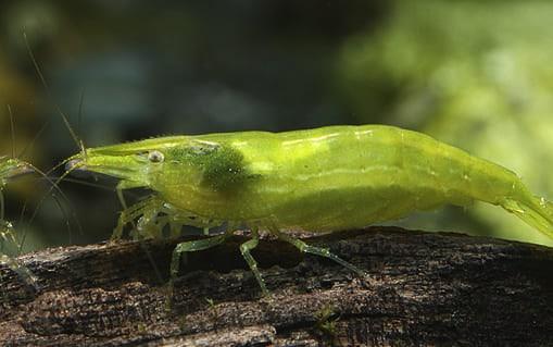 """Caridina cf. babaulti var """"Green"""" Shrimp"""