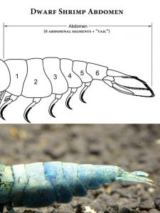 Dwarf Shrimp Abdomen