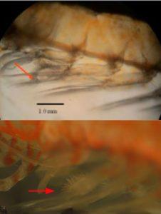 Dwarf shrimp Appendix masculina