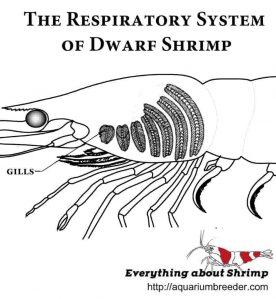 Dwarf shrimp Respiratory system