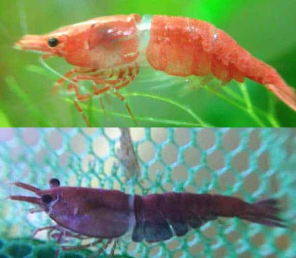 Dwarf Shrimp And Molting Problems The White Ring Of Death Shrimp And Snail Breeder