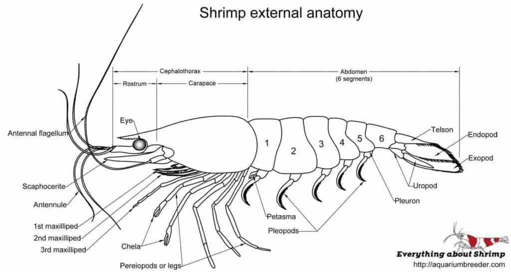 Shrimp external anatomy