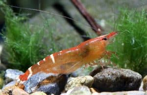 "Description of Caridina cf. babaulti var ""Malaya"" shrimp"