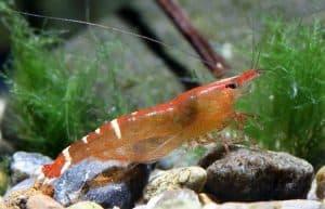 """Description of Caridina cf. babaulti var """"Malaya"""" shrimp"""