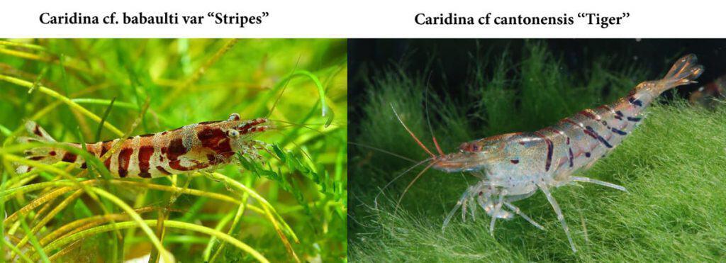 Caridina cf. babaulti Stripes vs Caridina cf cantonensis Tiger