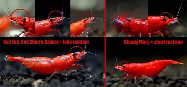 Difference between Bloody Mary and Painted Fire Red shrimp