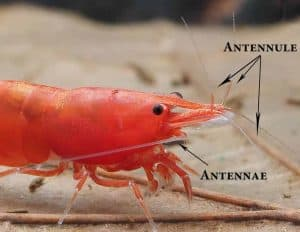 Dwarf shrimp Antennae and Antennule