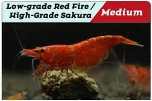 Low-grade Red Fire - High-grade Sakura Cherry Shrimp