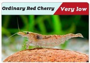 Ordinary Red Cherry shrimp