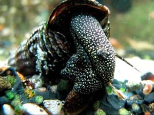 Rabbit snail