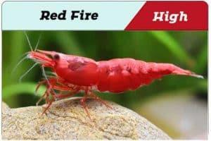 Red Fire Cherry Shrimp Grade