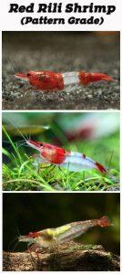 Rili Red Cherry Shrimp Grading