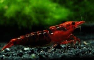 Kanoko Red Cherry Shrimp
