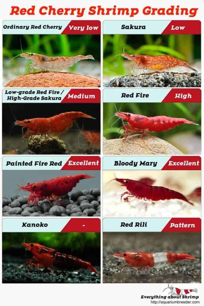 Red Cherry Shrimp Grading