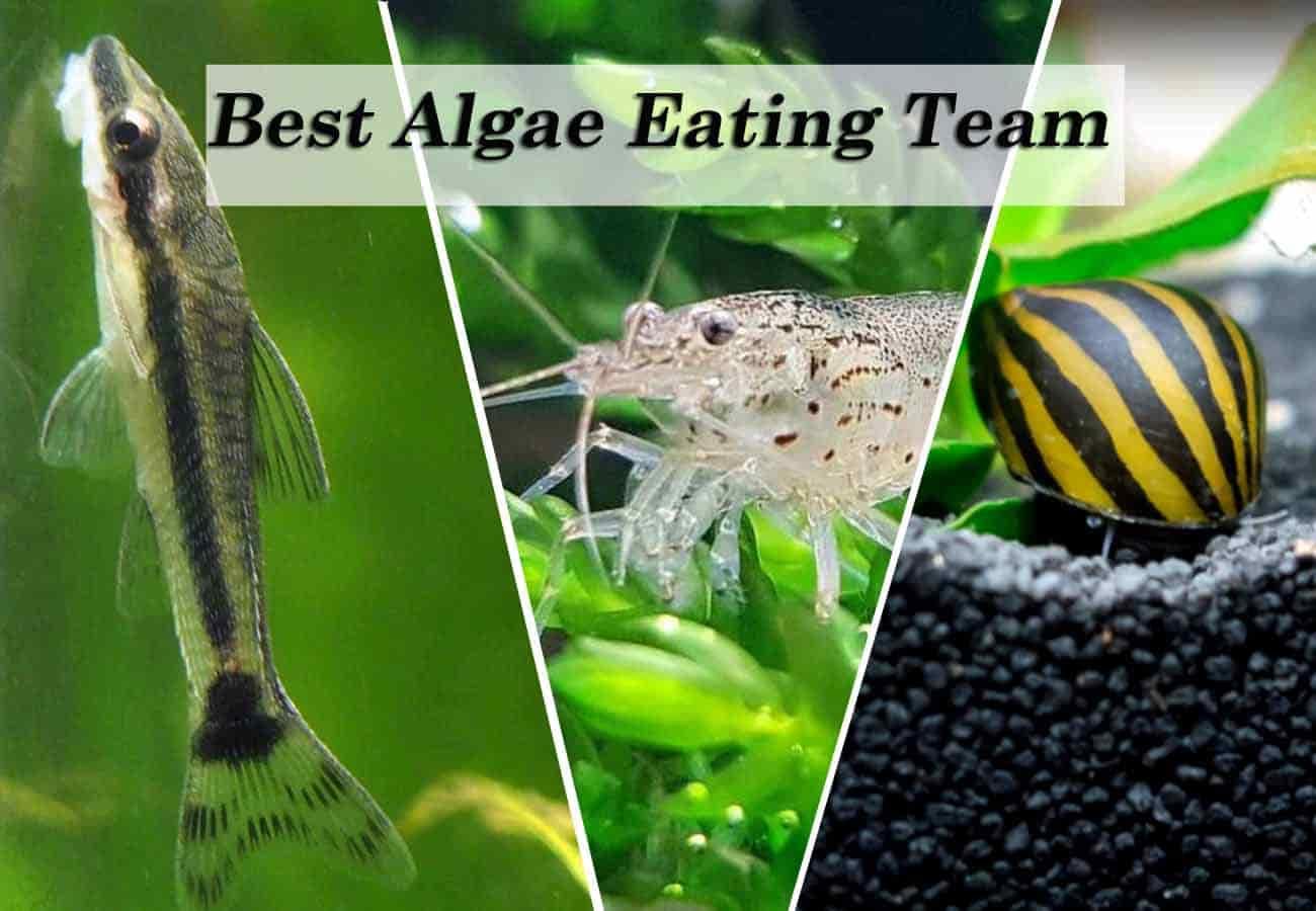Best algae eaters - Otocinclus fish, Amano shrimp, and Nerite snails