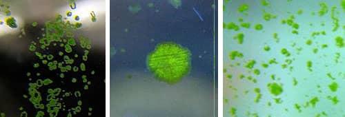 Green Spot Algae - GSA (Choleochaete)2