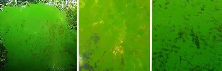 Green dust algae