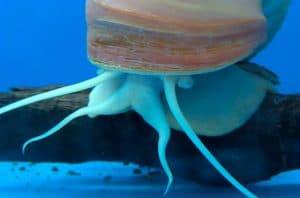 Mystery snail appearance
