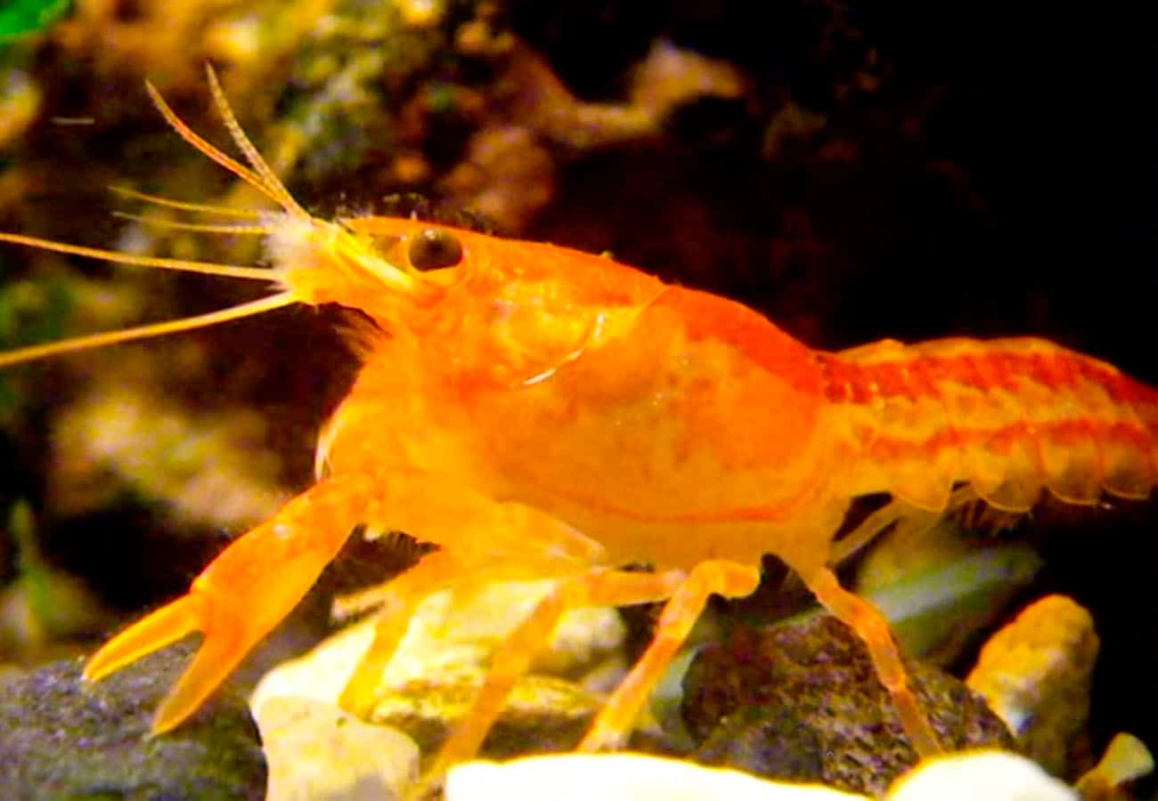 Dwarf Mexican Crayfish