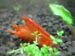 mating Dwarf Mexican Crayfish