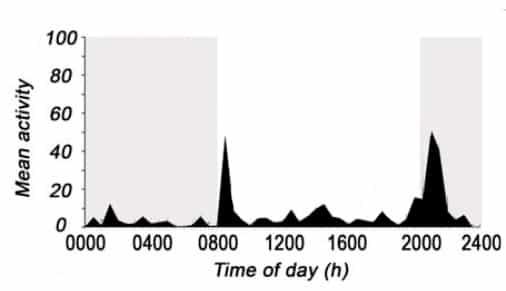 Marbled crayfish activity peak