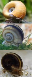 Marisa Cornuarietis Snails - color forms