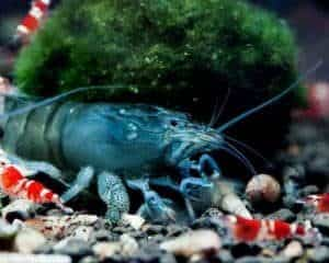 Vampire shrimp and Crystal red shrimp