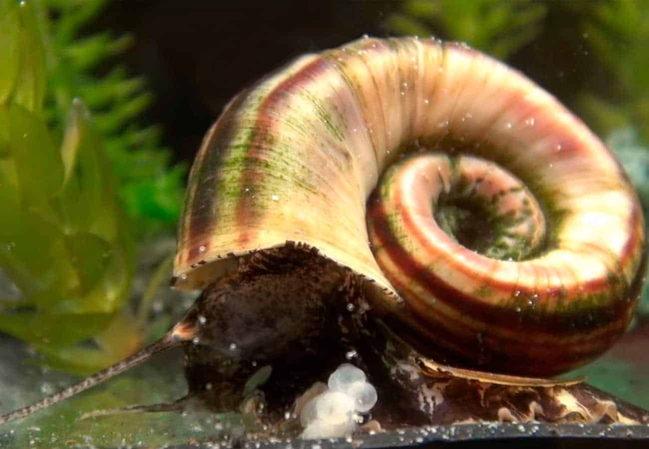 Marisa Cornuarietis Snail – Detailed Guide: Care, Diet and Breeding
