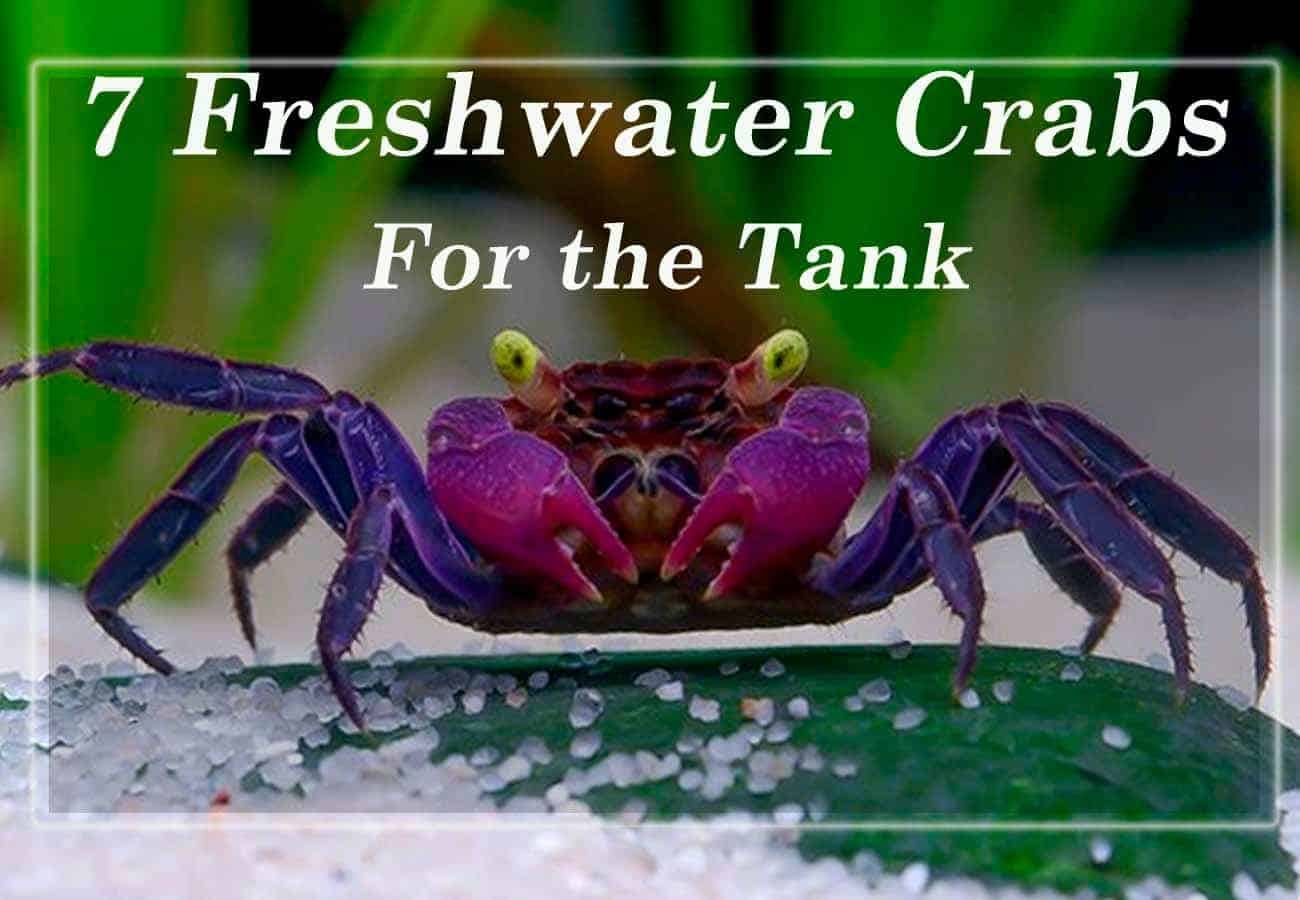 7 Freshwater Crabs For The Tank
