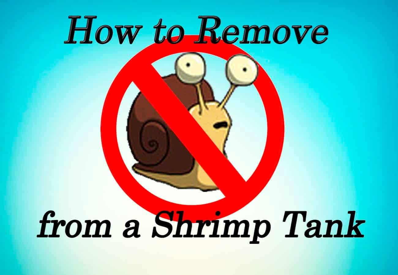 How to Remove Snails from a Shrimp Tank