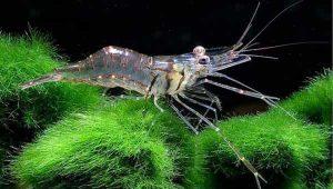 Macrobrachium Shrimp
