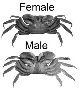 Red Clawed Crabs (female and male difference)