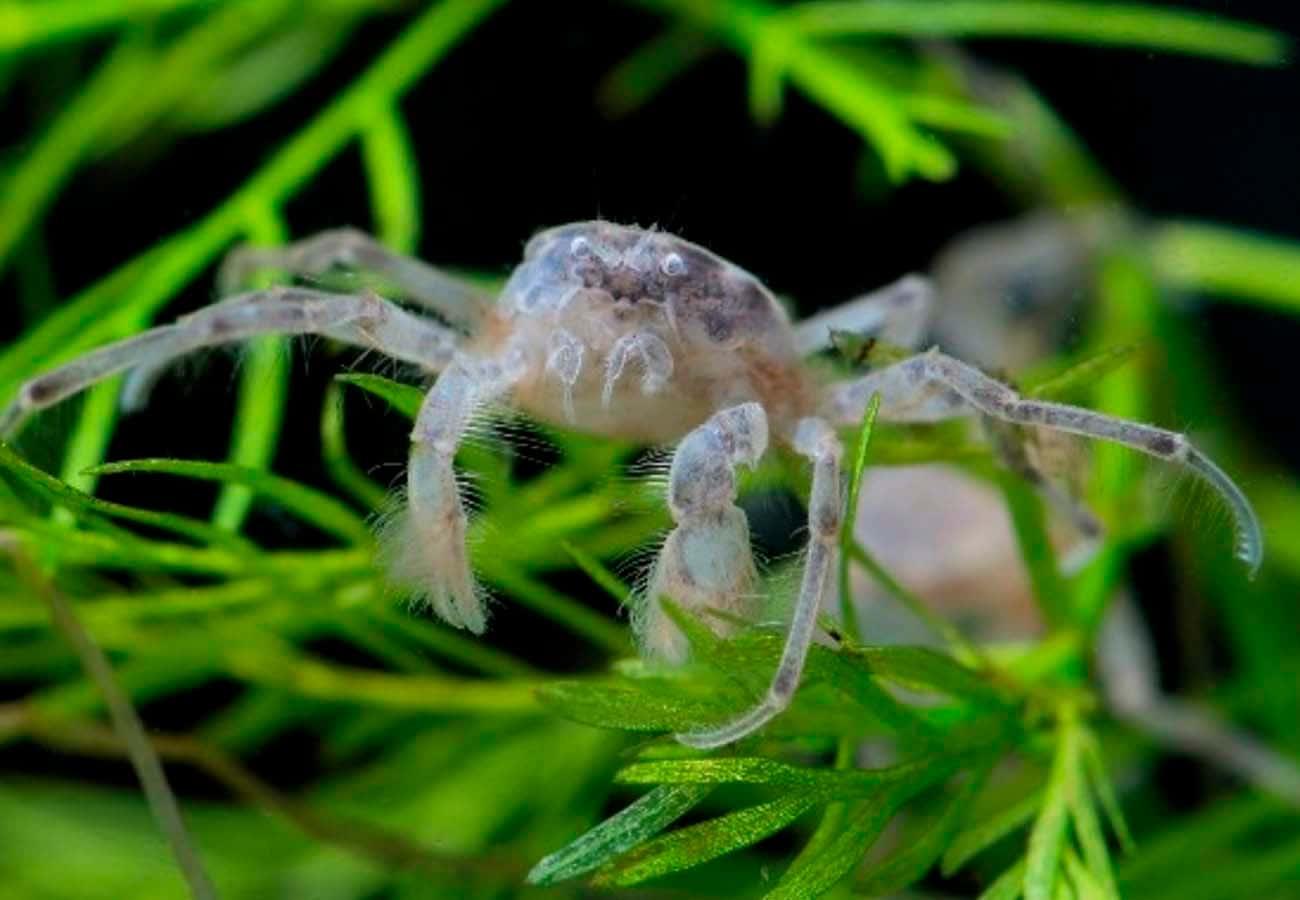 Thai Micro Crab (Limnopilos naiyanetri)