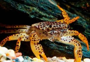The Panther Crab (Parathelphusa Pantherina)