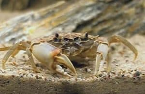 The Tanganyika Crab (Platythelphusa Sp.)